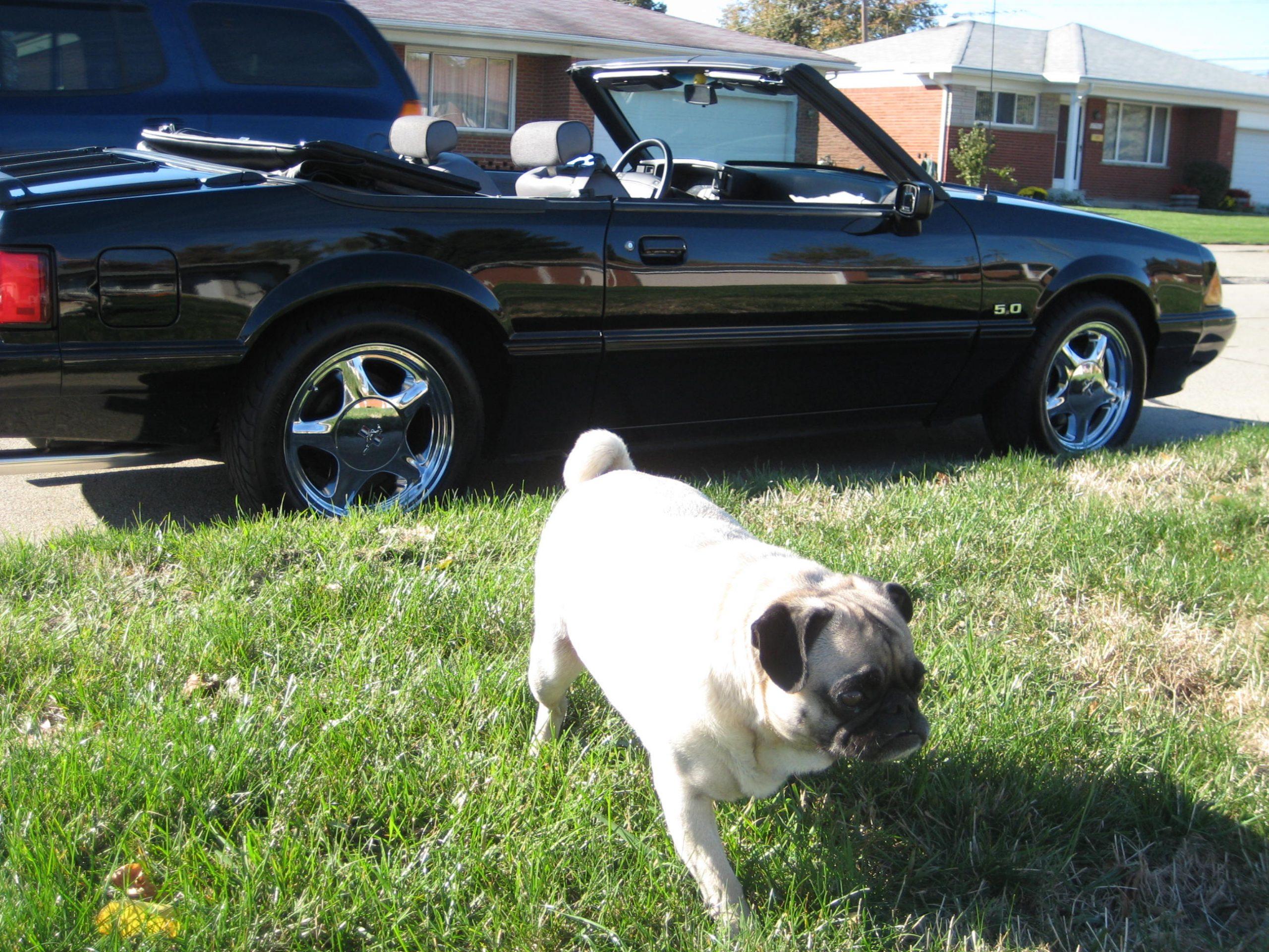 1993 Ford Mustang 5.0 convertible dog